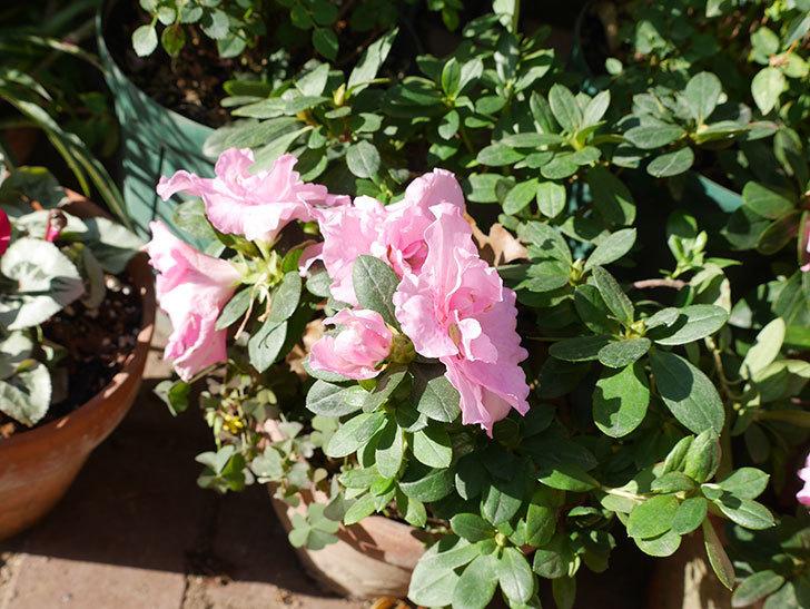 ピンクのアザレアが咲いた。2018年-2.jpg