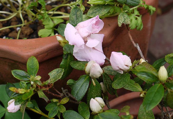 ピンクのアザレアの2回目の花が咲き出した。2016年-1.jpg