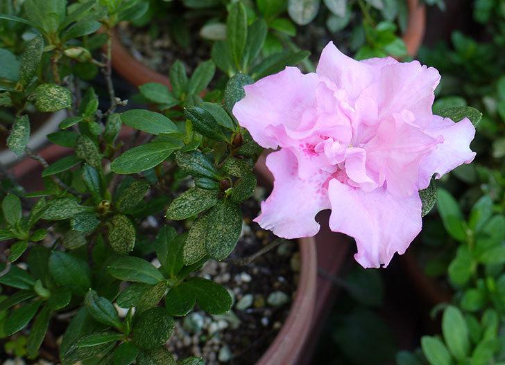ピンクのアザレアの花が1個だけ咲いた。2015年-1.jpg