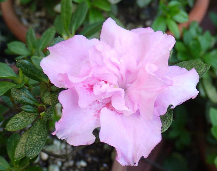 ピンクのアザレアの花が1個だけ咲いた。2015年-2.jpg