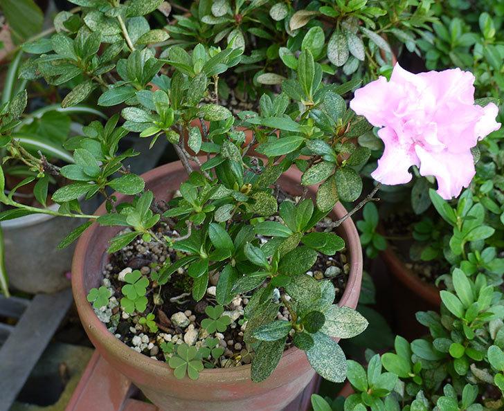 ピンクのアザレアの花が1個だけ咲いた。2015年-3.jpg
