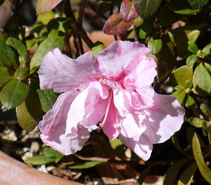 ピンクのアザレアの花が1個咲いた。2017年-3.jpg