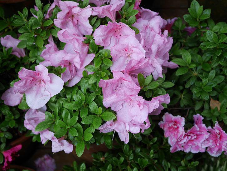 ピンクのアザレアの花がたくさん咲いた。2021年-001.jpg