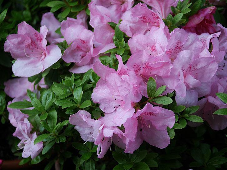ピンクのアザレアの花がたくさん咲いた。2021年-004.jpg