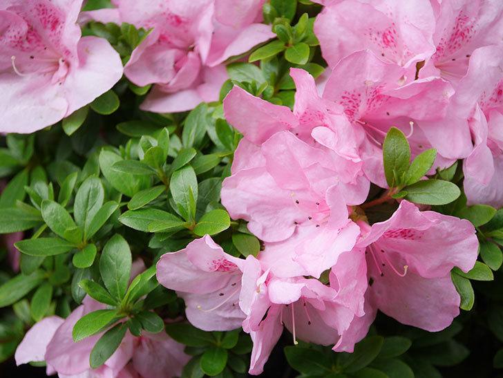ピンクのアザレアの花がたくさん咲いた。2021年-007.jpg