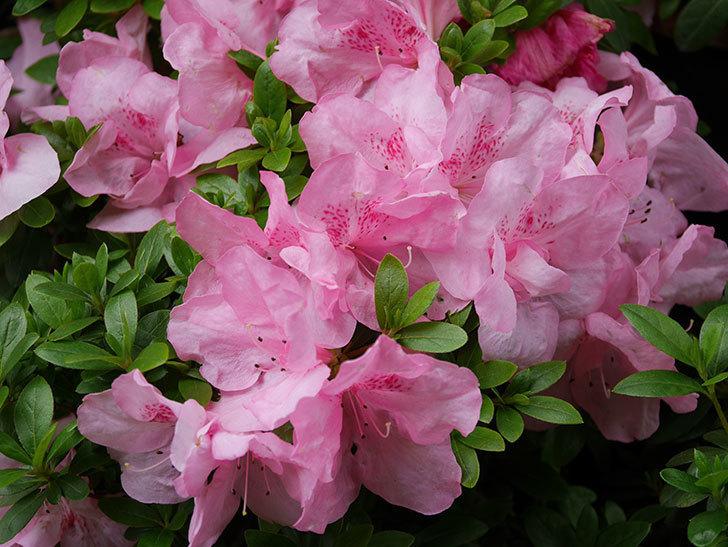 ピンクのアザレアの花がたくさん咲いた。2021年-008.jpg