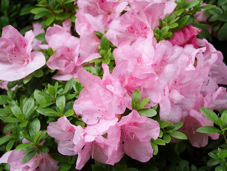 ピンクのアザレアの花がたくさん咲いた。2021年-009.jpg
