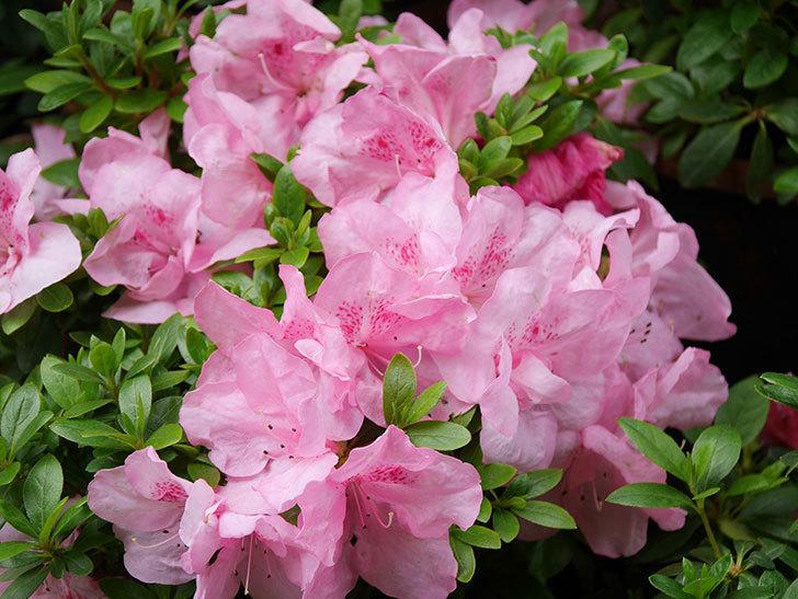 ピンクのアザレアの花がたくさん咲いた。2021年-010.jpg