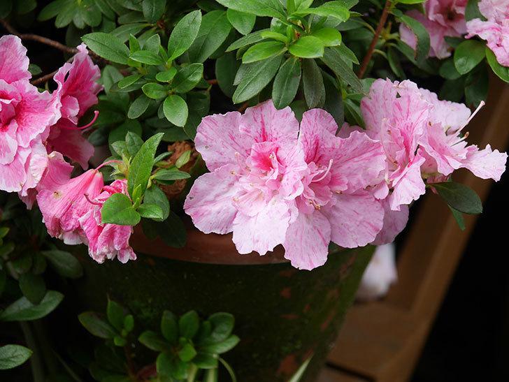 ピンクのアザレアの花がたくさん咲いた。2021年-011.jpg