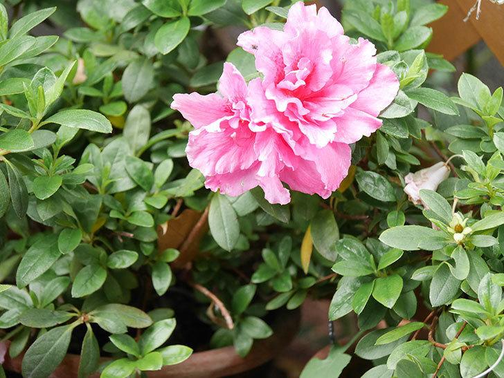 ピンクのアザレアの花がたくさん咲いた。2021年-012.jpg