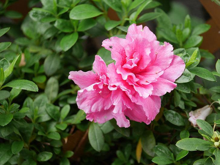 ピンクのアザレアの花がたくさん咲いた。2021年-013.jpg