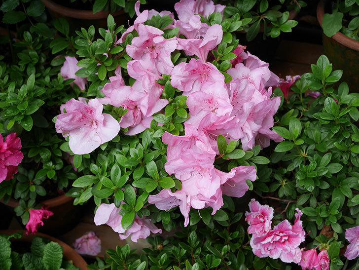 ピンクのアザレアの花がたくさん咲いた。2021年-015.jpg