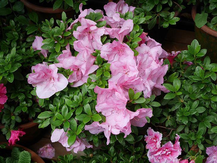 ピンクのアザレアの花がたくさん咲いた。2021年-016.jpg