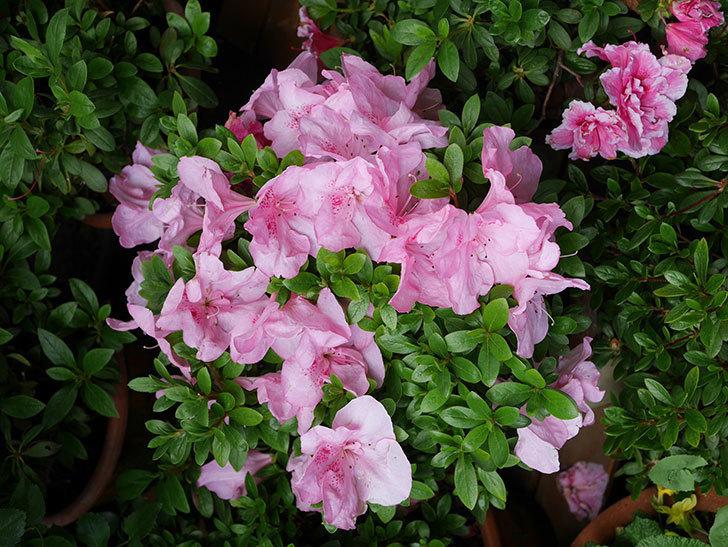 ピンクのアザレアの花がたくさん咲いた。2021年-017.jpg