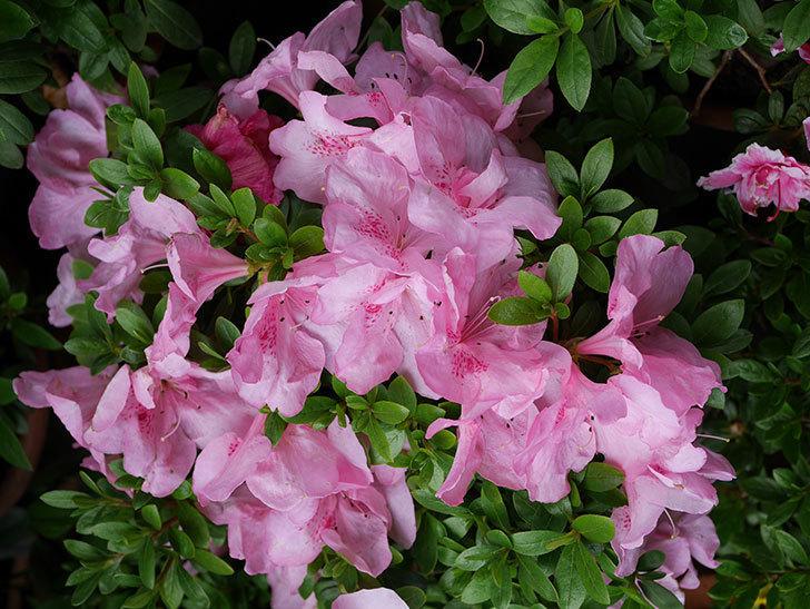ピンクのアザレアの花がたくさん咲いた。2021年-018.jpg