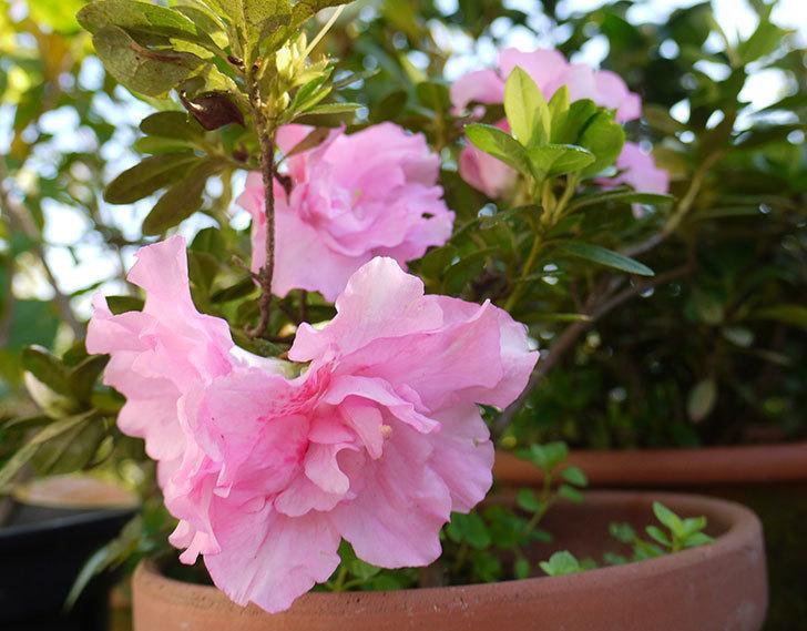 ピンクのアザレアの花が咲き出した。2015年-1.jpg