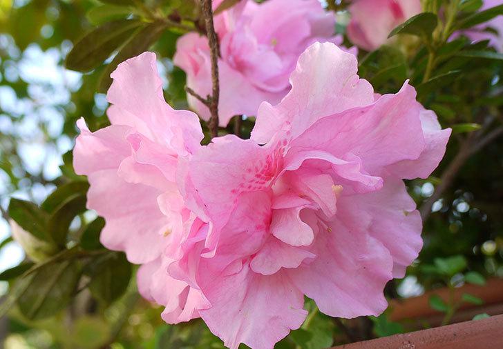 ピンクのアザレアの花が咲き出した。2015年-2.jpg