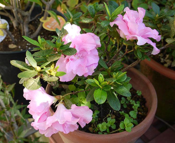 ピンクのアザレアの花が咲き出した。2015年-4.jpg