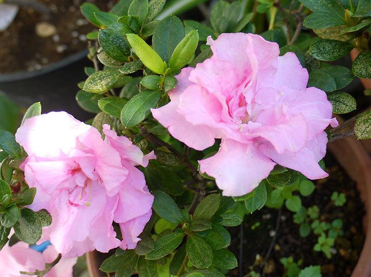 ピンクのアザレアの花が咲き出した。2015年-5.jpg