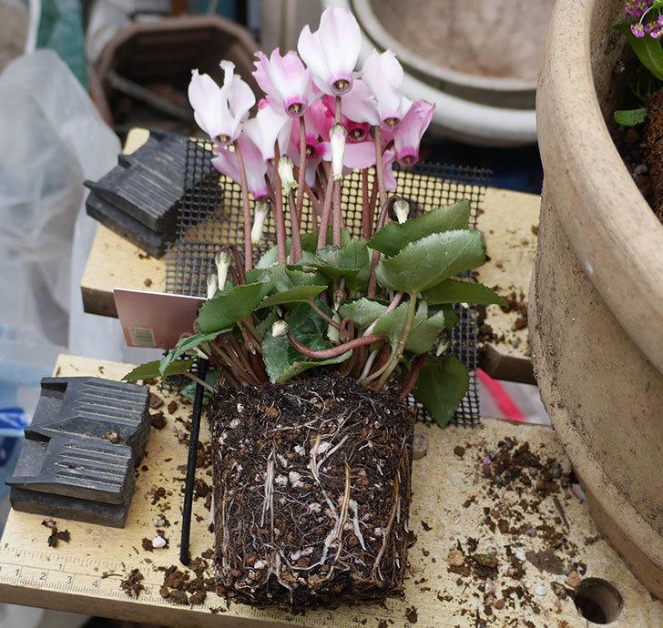 ピンクのアリッサムとガーデンシクラメンを寄せ植えにした。2018年-3.jpg