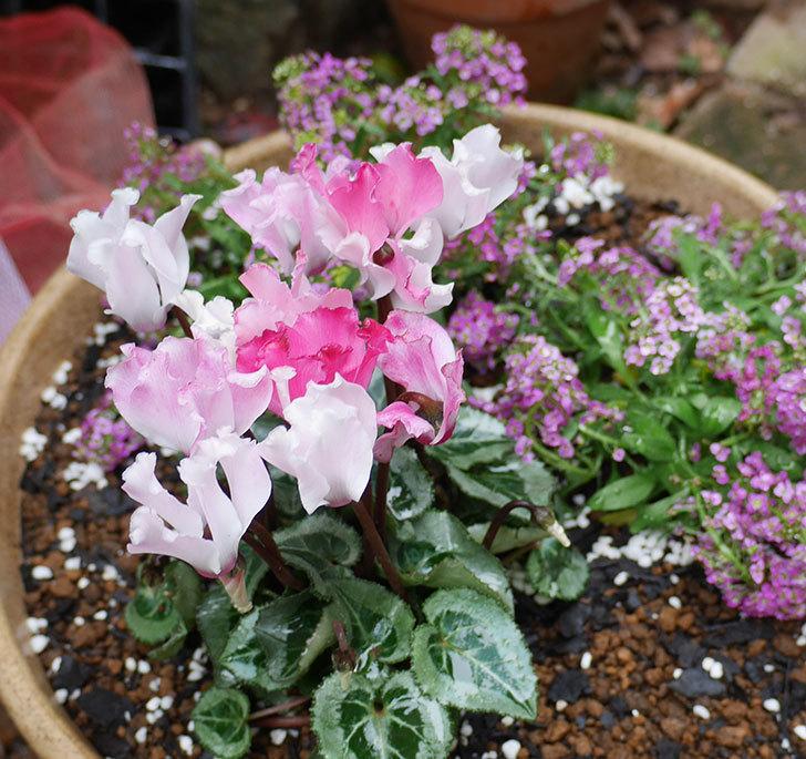 ピンクのアリッサムとガーデンシクラメンを寄せ植えにした。2018年-5.jpg