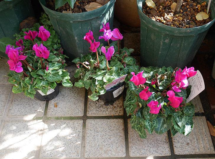ピンクのガーデンシクラメンの苗を3個買って来た。2019年-1.jpg