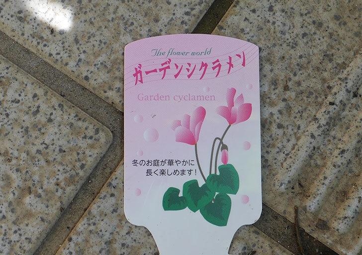 ピンクのガーデンシクラメンの苗を3個買って来た。2019年-4.jpg