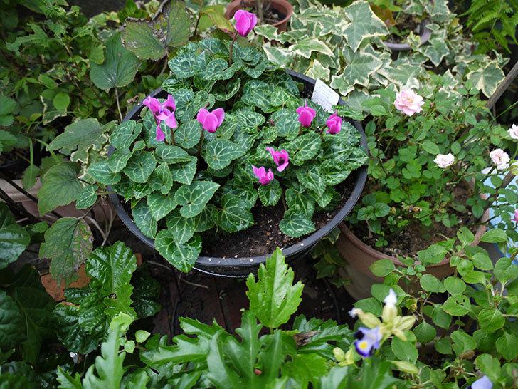 ピンクのガーデンシクラメンを鉢に植えた3.jpg