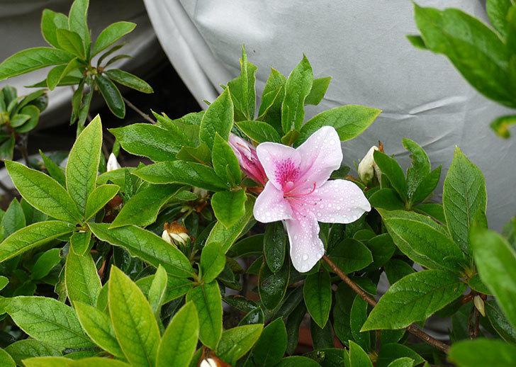 ピンクのサツキが咲いた1.jpg