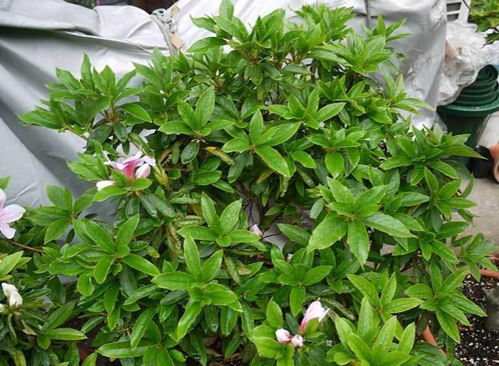 ピンクのサツキが咲いた2.jpg