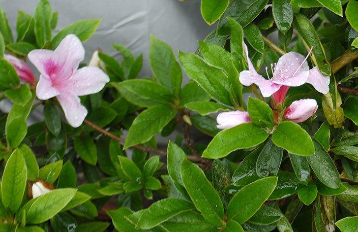 ピンクのサツキが咲いた3.jpg