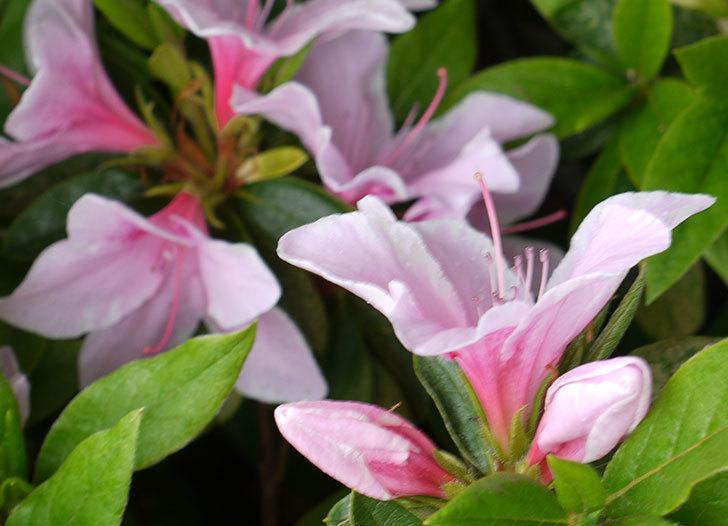 ピンクのサツキが咲いた。2016年-3.jpg