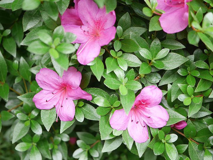 ピンクのサツキの花が咲いた。2020年-005.jpg