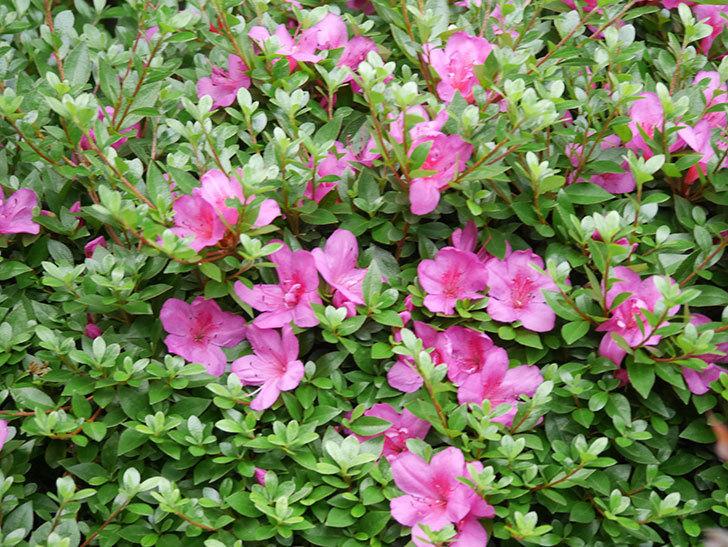 ピンクのサツキの花が咲いた。2020年-007.jpg