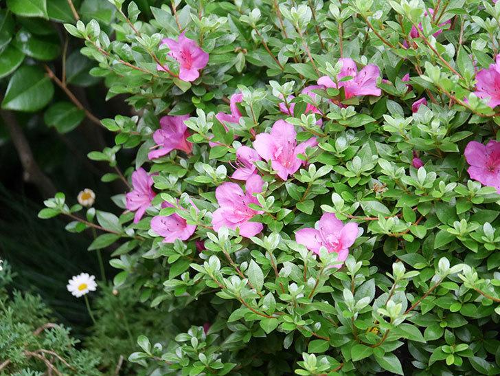 ピンクのサツキの花が咲いた。2020年-008.jpg