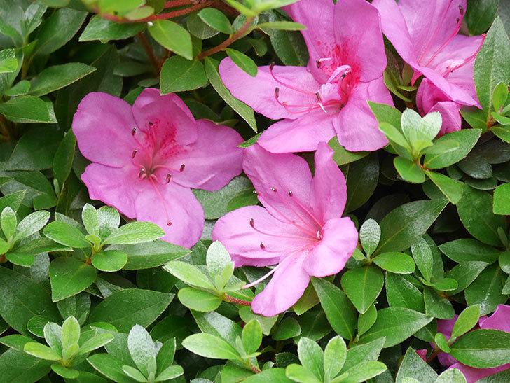 ピンクのサツキの花が咲いた。2020年-009.jpg