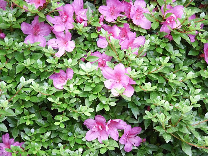 ピンクのサツキの花が咲いた。2020年-010.jpg