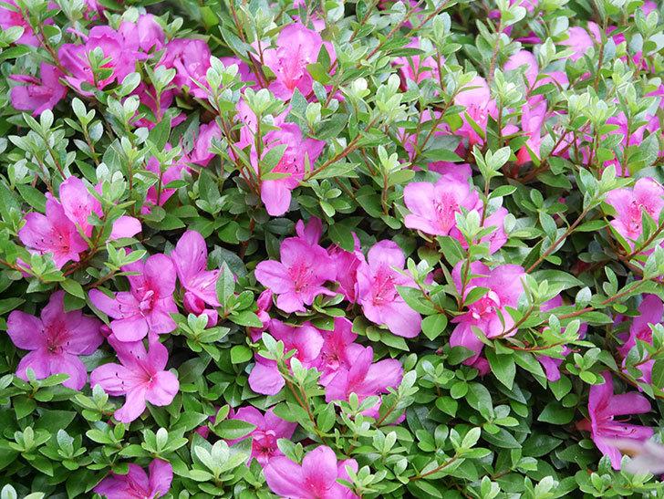 ピンクのサツキの花が咲いた。2020年-011.jpg