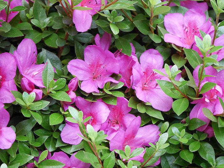 ピンクのサツキの花が咲いた。2020年-012.jpg