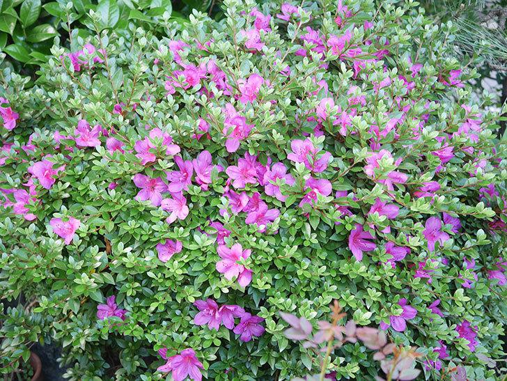 ピンクのサツキの花が咲いた。2020年-013.jpg