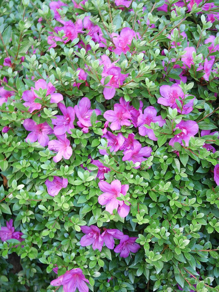 ピンクのサツキの花が咲いた。2020年-014.jpg