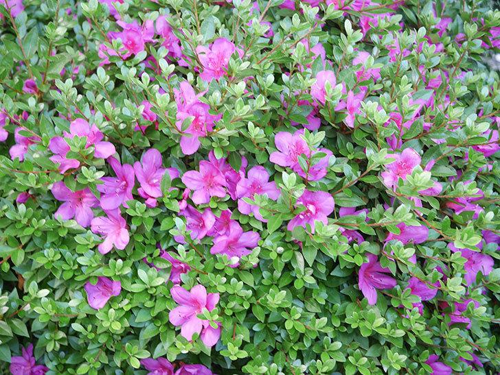 ピンクのサツキの花が咲いた。2020年-015.jpg