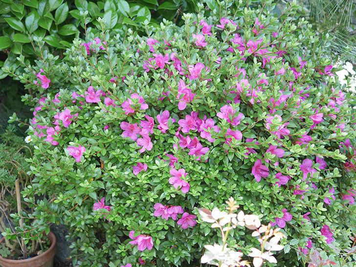 ピンクのサツキの花が咲いた。2020年-017.jpg