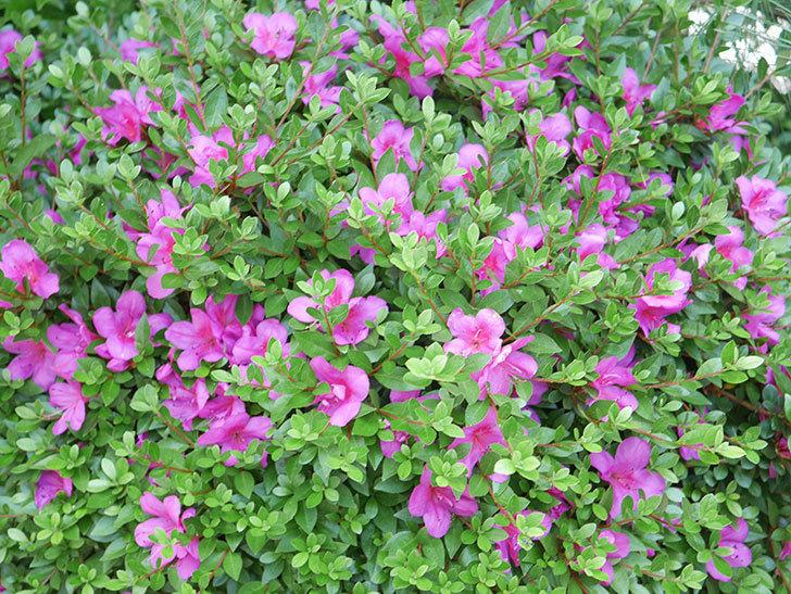 ピンクのサツキの花が咲いた。2020年-018.jpg