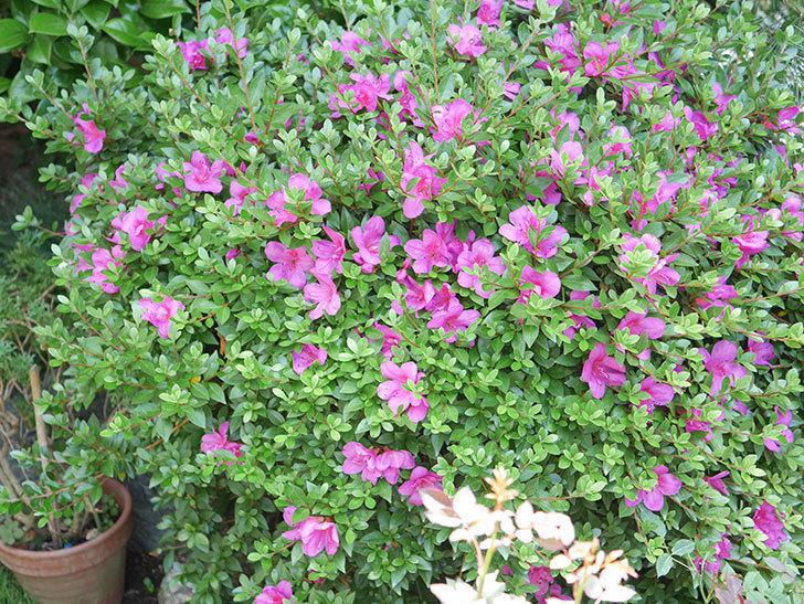 ピンクのサツキの花が咲いた。2020年-019.jpg