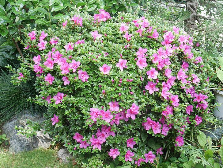 ピンクのサツキの花が咲いた。2021年-001.jpg