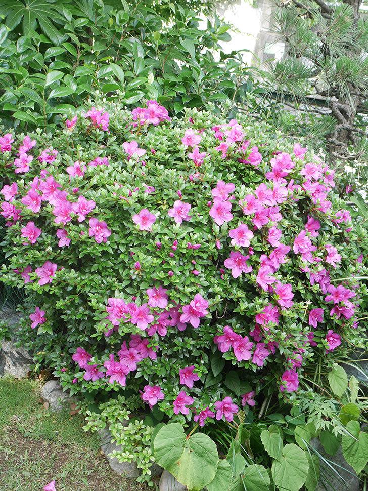 ピンクのサツキの花が咲いた。2021年-002.jpg