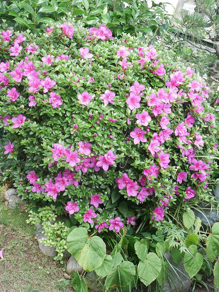 ピンクのサツキの花が咲いた。2021年-003.jpg