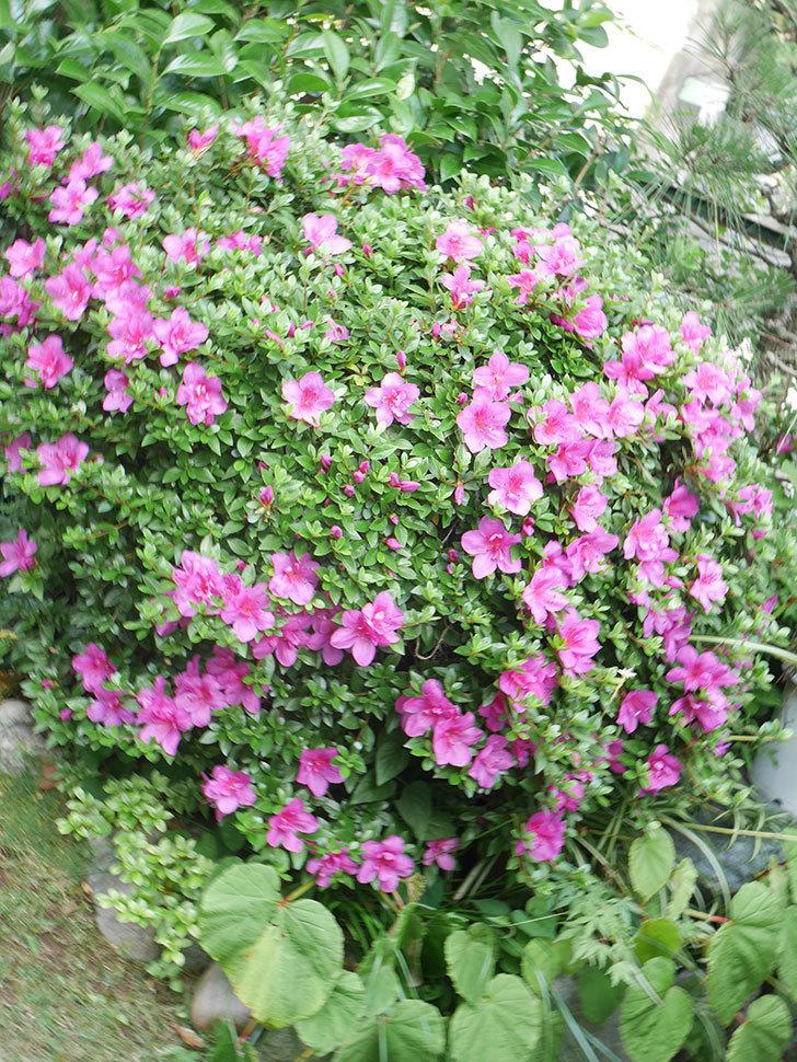 ピンクのサツキの花が咲いた。2021年-004.jpg