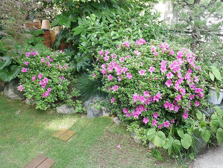 ピンクのサツキの花が咲いた。2021年-005.jpg